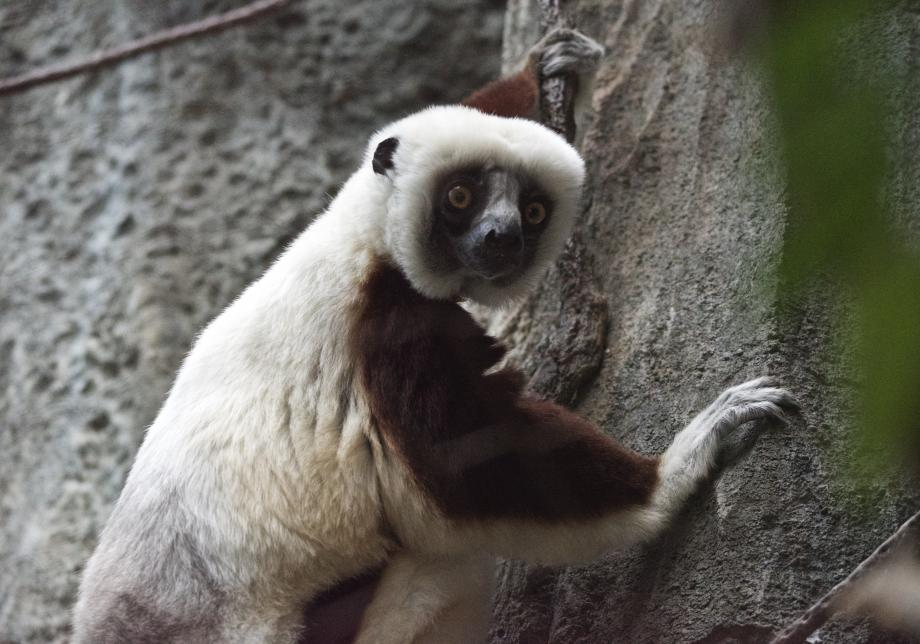 A small, lemur-like animal with light tan fur on its back and dark brown fur on its shoulders and arms uses long fingers to cling to a rock face. The animal is looking at the camera with amber eyes.