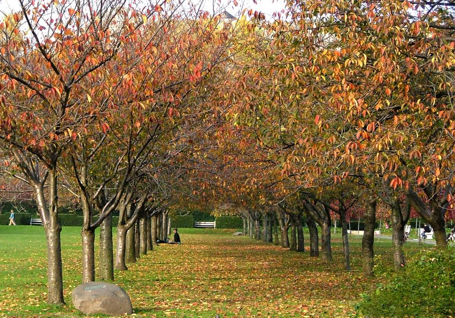 Neat rows of cherry trees extend down a lawn that's fading from green to yellow. The trees and ground are covered with yellow and orange leaves. People can be seen sitting between the trees toward the back of the image.